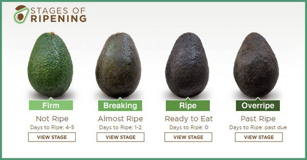 avocado stages of ripening chart