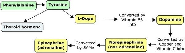 diagram showing tyrosine to dopamine-norepinephrine pathway
