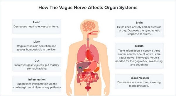 chart showing how the vagus nerve affects organ systems